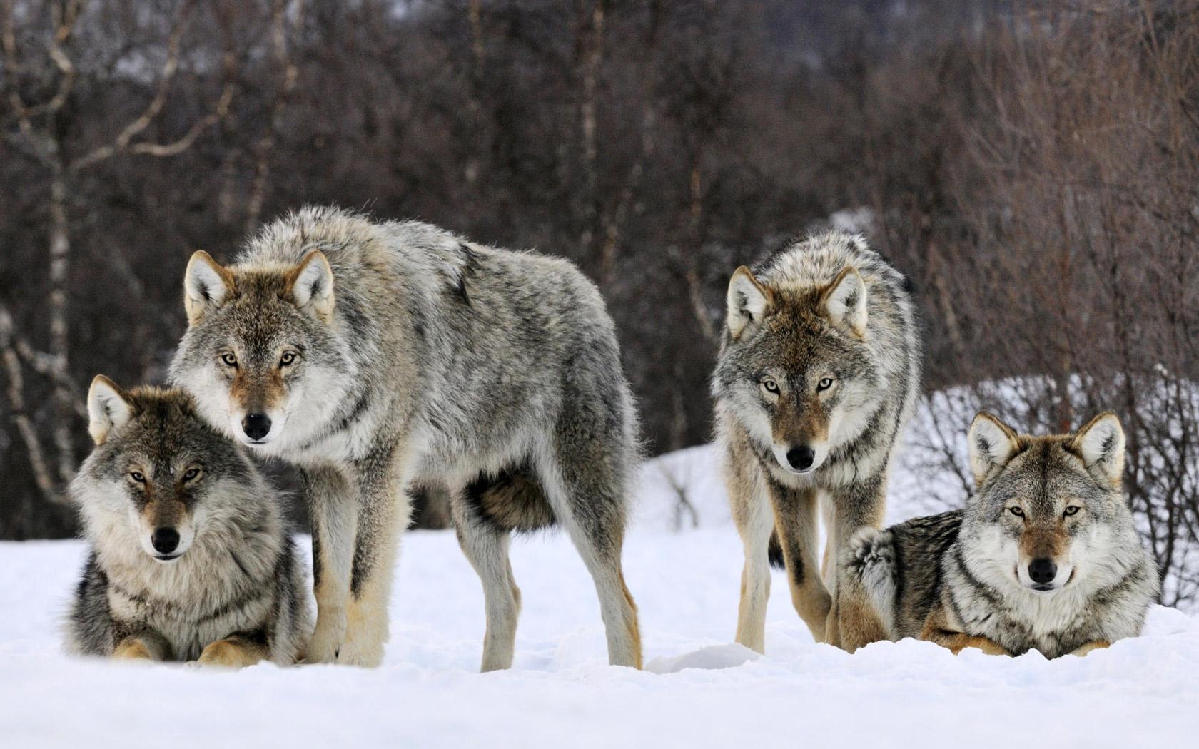 В Архангельской области увеличили вознаграждение за убийство волков