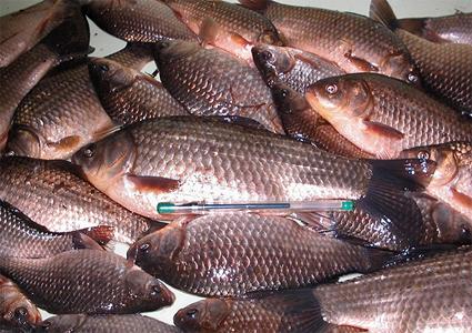 ВАрхангельской области лже-предприниматели украли «рыбную» субсидию
